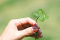 "Lucky clover in hand "" clover"" four leaf white dutch trifolium repens rare variation of the three leaf Stock Photography"