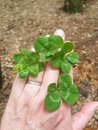 Lucky Clover Wishes