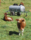 Lucky cows Royalty Free Stock Images
