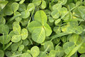 Lucky four leaf clover single in a patch Stock Photos