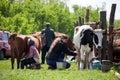 LUGANSK, UKRAINE - JUNE 19, 2016: Two women milk the cows in village