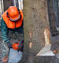 Lumberjack cutting down tree Stock Images