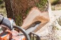 Lumberjack cutting tree in forest logger worker protective gear firewood timber with chainsaw Stock Photo