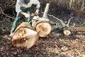 Lumberjack using chainsaw cutting big tree Royalty Free Stock Photo