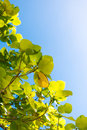 Luminous leaves in the azure sky with as backdrop Royalty Free Stock Photography