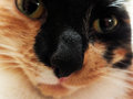 Luminous nose close up image of my feline friend as she peers into the lens of my camera Royalty Free Stock Images
