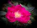 Luminous pink Dog Rose Royalty Free Stock Photo