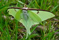 Luna Moth Stock Photo