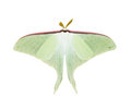 Luna Moth Royalty Free Stock Photography