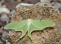 Luna Moth (Actias luna) Stock Photo