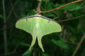 Luna moth this is a drying it s wings after emerging from it s cocoon Royalty Free Stock Photo