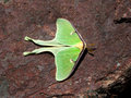 Luna moth a large green called a Royalty Free Stock Photos