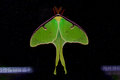 Luna moth on porch screen Royalty Free Stock Photos