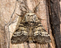 Lunar marbled brown moth (Drymonia ruficornis) Royalty Free Stock Photo