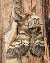 Lunar marbled brown moth (Drymonia ruficornis) from side Royalty Free Stock Photo