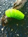 Lunar moth Caterpillar Royalty Free Stock Photo