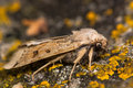 Lunar underwing moth (Omphaloscelis lunosa) Royalty Free Stock Photo