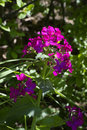 Lunaria Annua Royalty Free Stock Photo