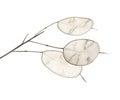 Lunaria annua, silver dollar plant Royalty Free Stock Photo