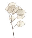 Lunaria annua, silver dollar plant Royalty Free Stock Photo