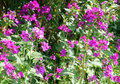 Lunaria or honesty flowers in the garden plants growing a purple sunshine Stock Photography