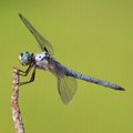 Lunch time blue eyed dragonfly that is waiting for a meal to fly by Royalty Free Stock Images