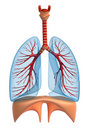 Lungs - pulmonary system Stock Photos