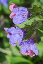 Lungwort flower blue and pink flowers Royalty Free Stock Photos
