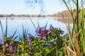 Lungwort flower at a lake in spring Stock Photo
