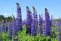 Lupin Royalty Free Stock Photo