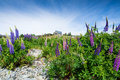 Lupin at church of the good shepherd lake takepo new zealand Stock Photos