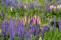 Lupin Field Royalty Free Stock Photos