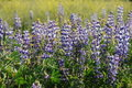 Lupin field Royalty Free Stock Images