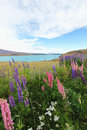 Lupin field lake Ta kepo Stock Images