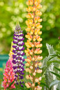 Lupin flower Royalty Free Stock Photo
