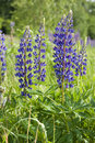 Lupin flowers Royalty Free Stock Photos