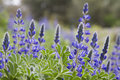 Lupin group Royalty Free Stock Photo