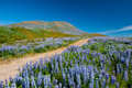 Lupin and mountains Stock Image