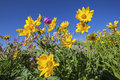Lupine and Arnica wildflowers Royalty Free Stock Photo
