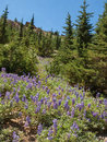 Lupine blooming in mountain field blue a meadow among trees on a side at lassen volcanic national park california Stock Photo