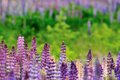 Lupine field Royalty Free Stock Photos