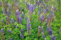 Lupine Flowers Background Royalty Free Stock Photo