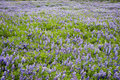 Lupine flowers field Royalty Free Stock Image