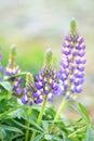 Lupine Flowers