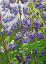 Lupine and ladybug in the middle of a field of blooming a clings to the outside of a partially opened bloom Stock Photos