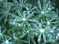 Ďatelinka listy voda kvapky 2