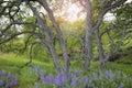 Lupine Wild Flowers Under The ...