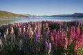 Lupines blossom at Lake Tekapo, New Zealand Royalty Free Stock Photo