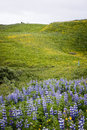 Lupines in a field of flowers Royalty Free Stock Photo