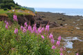 Lupines at low tide Stock Image
